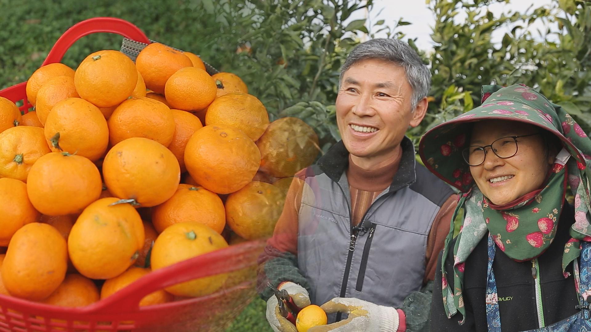 [세 번째 착한 농부 – 제주] 자연 순환 농법으로 키운 유기농 귤 농부 김성오, 박미영 이미지