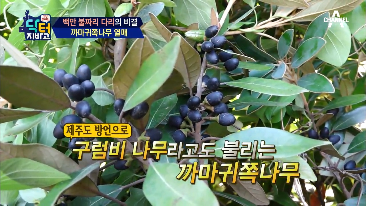 제주, 남해에만 나는 '까마귀쪽나무 열매'?! 관절 건강 특효약! 이미지