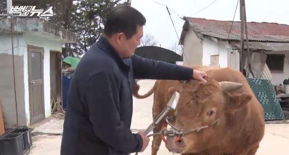 동물 학대? 소 사료 값이나 주고 말해라 [빽투더뉴스]