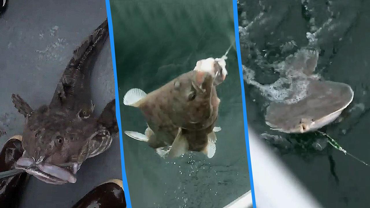 마닷, 알래스카 괴어 낚다?! 무서운 속도로 잡는 낚.....