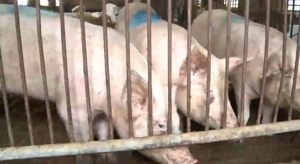 """""""돼지 냄새 참아라"""" 전주에 있는 국민연금 비꼰 WSJ"""