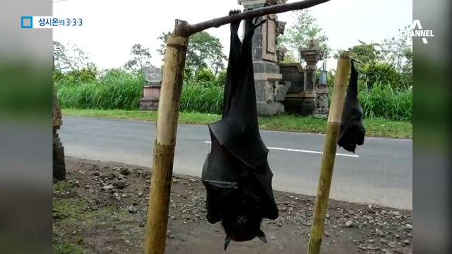 [333 뉴스] 날개 펼치면 1.7m…'거대 박쥐'가 ....