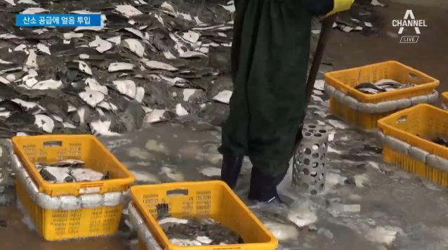 고수온에 동해안 물고기 떼죽음…산소 공급·얼음 투입 '....