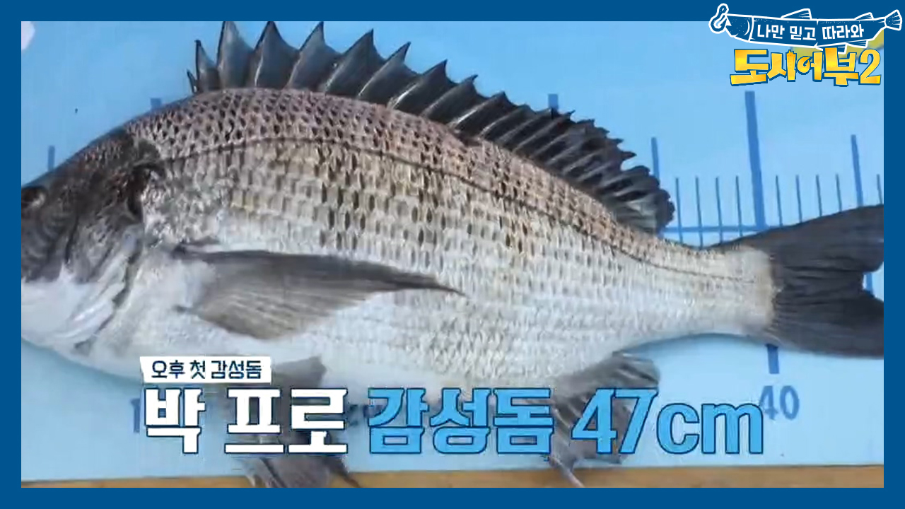 ↖신이라 불린 박프로↗ 2연속 대물 감성돔 히트치다ㄷㄷ (ft. 4짜)