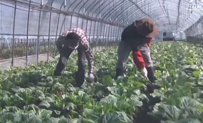 """[현장 카메라]외국인 근로자 입국 막혀 인력난…""""농사 ...."""