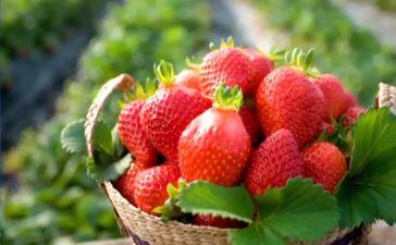 복숭아 맛 나는 딸기…귤 제치고 '겨울 과일' 왕좌