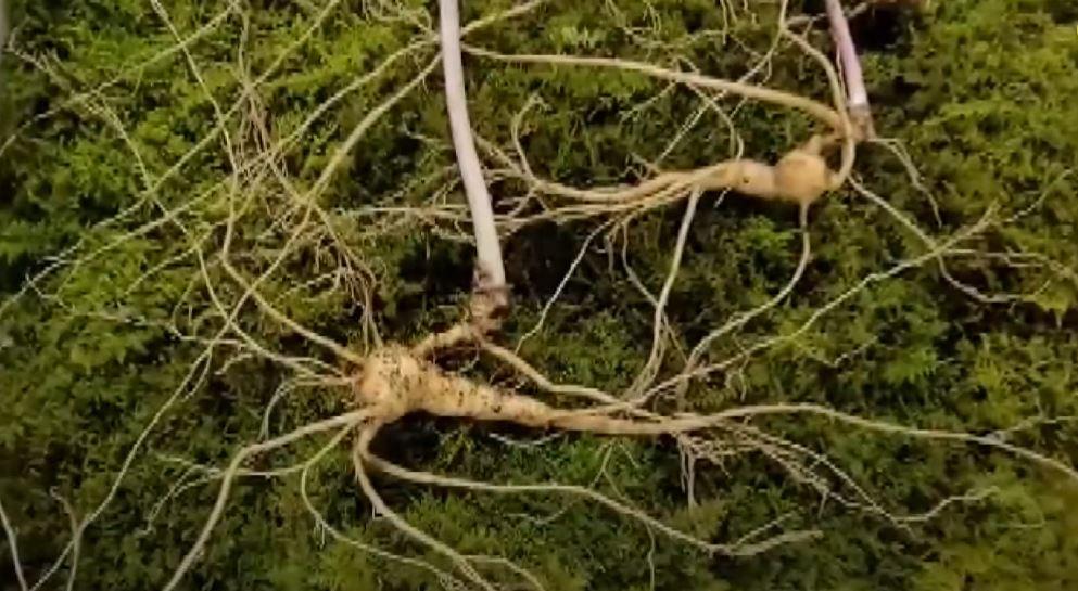 100년 넘은 가족 산삼 8뿌리, 감정가 1억 2천만 ....