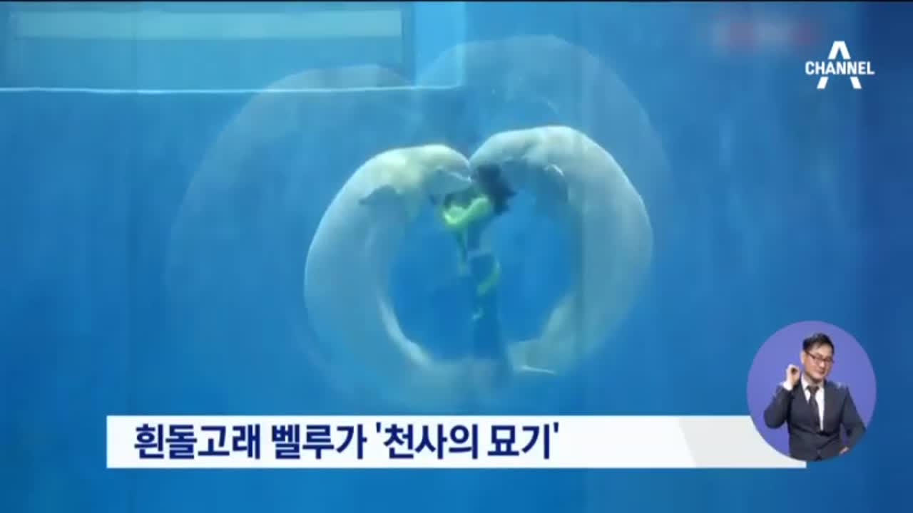 흰돌고래 벨루가 '천사의 묘기'
