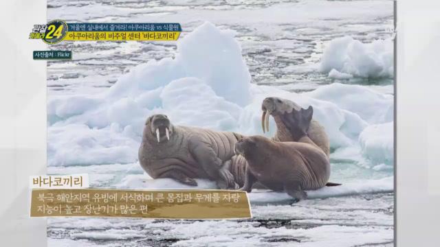 아쿠아리움의 비주얼 센터! '바다코끼리' 내꺼야~♥