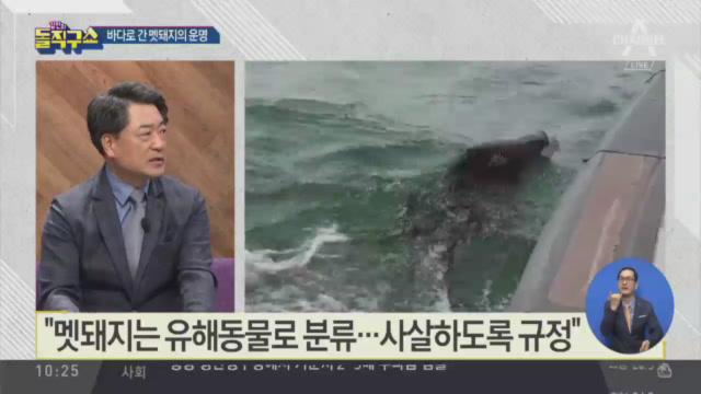 [핫플]바다로 간 멧돼지 운명…몸부림 끝에 '사살'